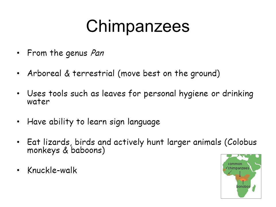 Chimpanzees From the genus Pan