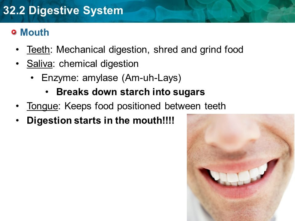 Teeth: Mechanical digestion, shred and grind food
