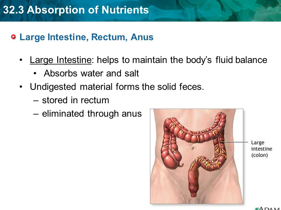 Large Intestine, Rectum, Anus