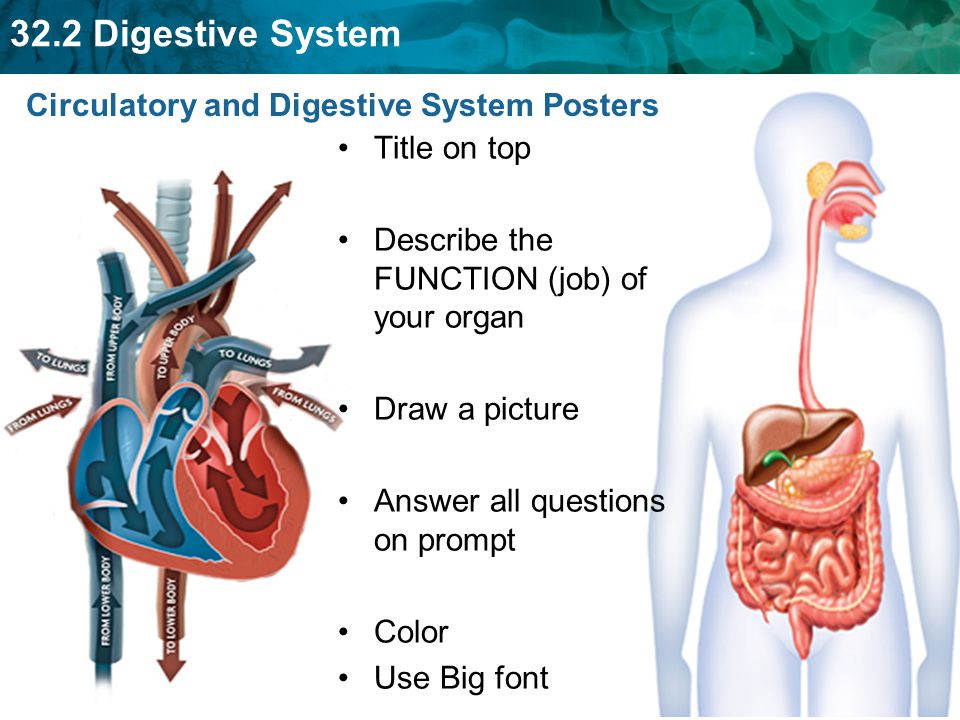 Circulatory and Digestive System Posters
