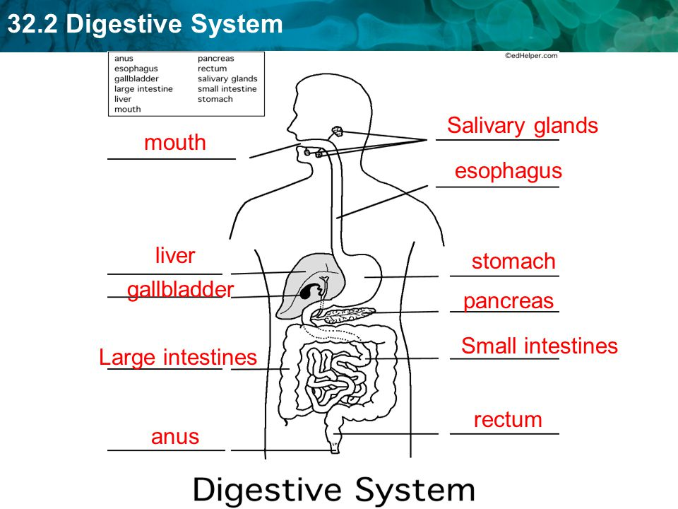 Salivary glands mouth. esophagus. liver. stomach. gallbladder. pancreas. Small intestines. Large intestines.