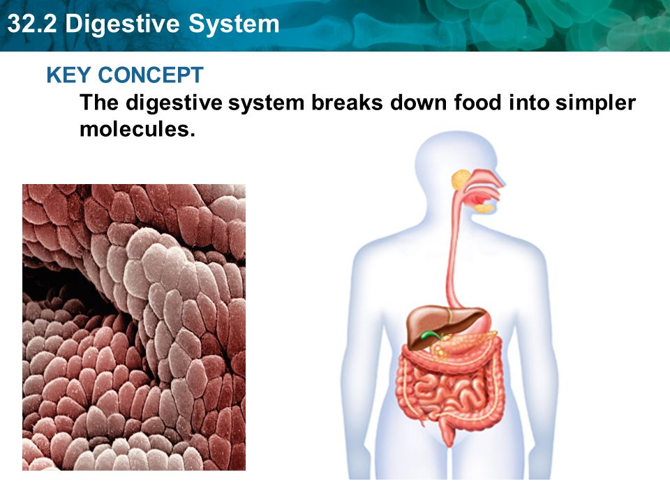 KEY CONCEPT The digestive system breaks down food into simpler molecules.