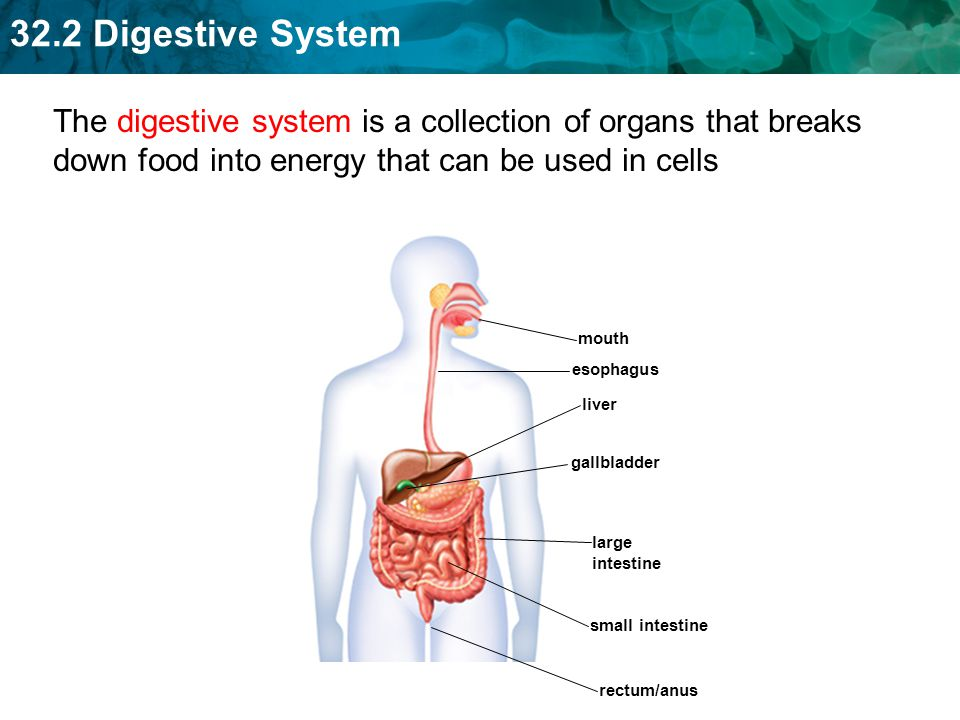 The digestive system is a collection of organs that breaks down food into energy that can be used in cells
