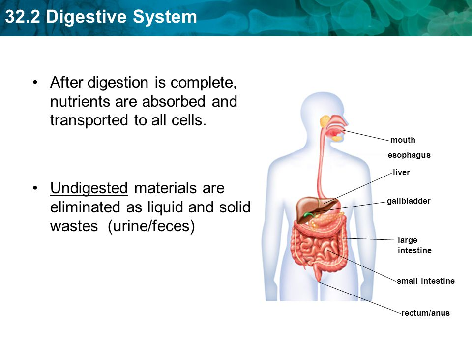 After digestion is complete, nutrients are absorbed and transported to all cells.