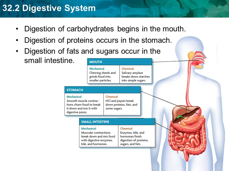 Digestion of carbohydrates begins in the mouth.