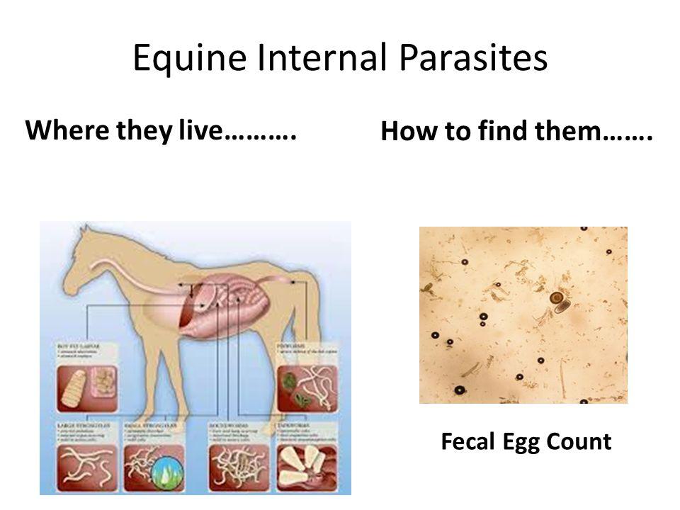 Equine Internal Parasites