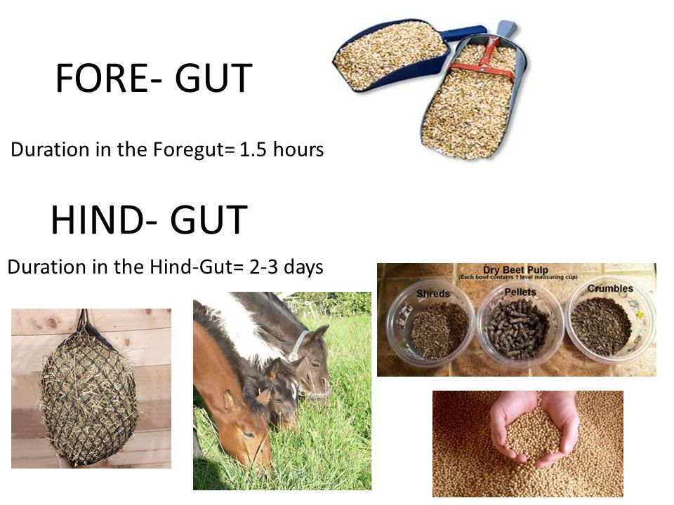 FORE- GUT HIND- GUT Duration in the Foregut= 1.5 hours