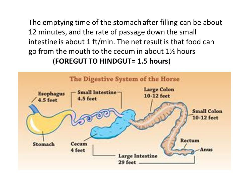 The emptying time of the stomach after filling can be about 12 minutes, and the rate of passage down the small intestine is about 1 ft/min.