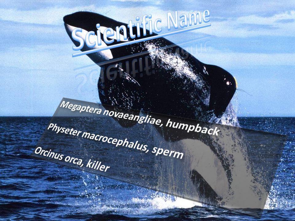 Scientific Name Megaptera novaeangliae, humpback
