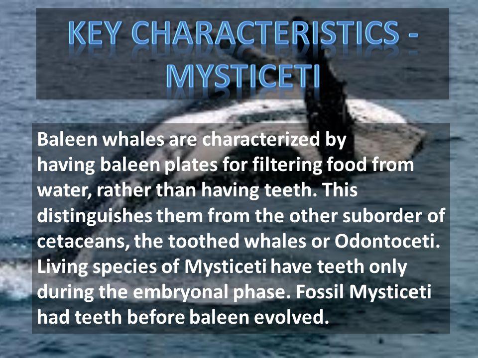 Key Characteristics - Mysticeti
