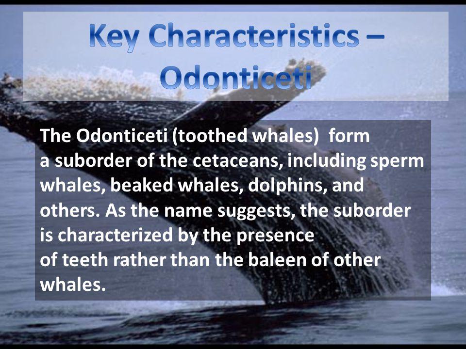 Key Characteristics – Odonticeti