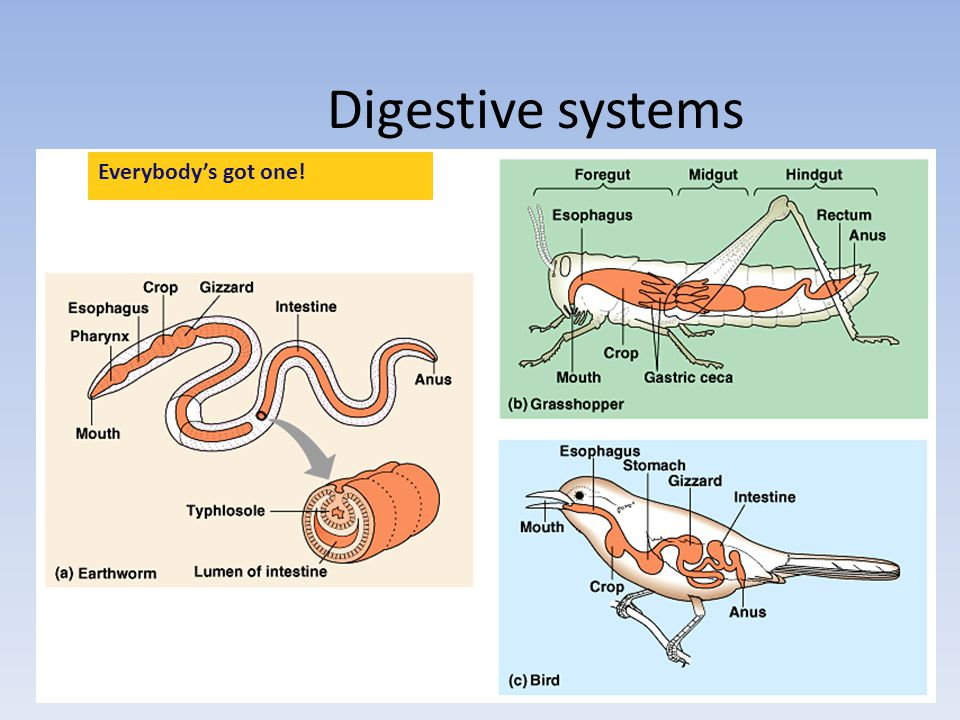 Digestive systems Everybody's got one!