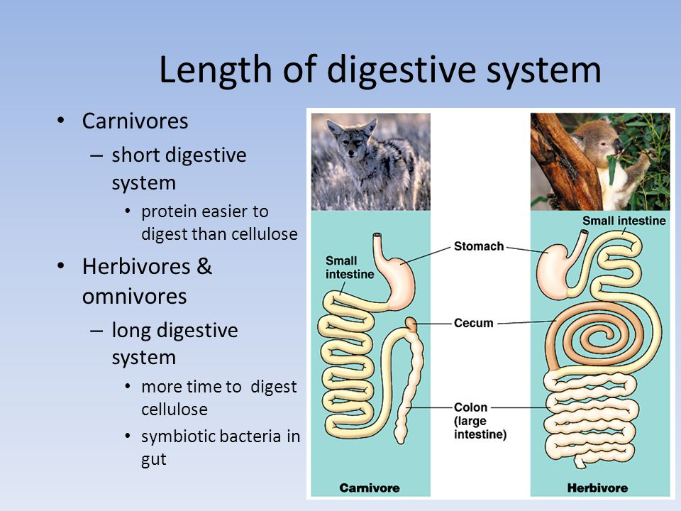 Length of digestive system