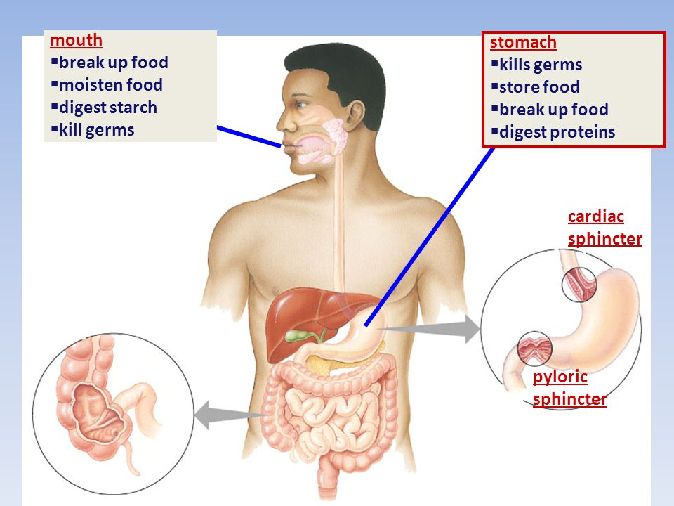 mouth break up food. moisten food. digest starch. kill germs. stomach. kills germs. store food.