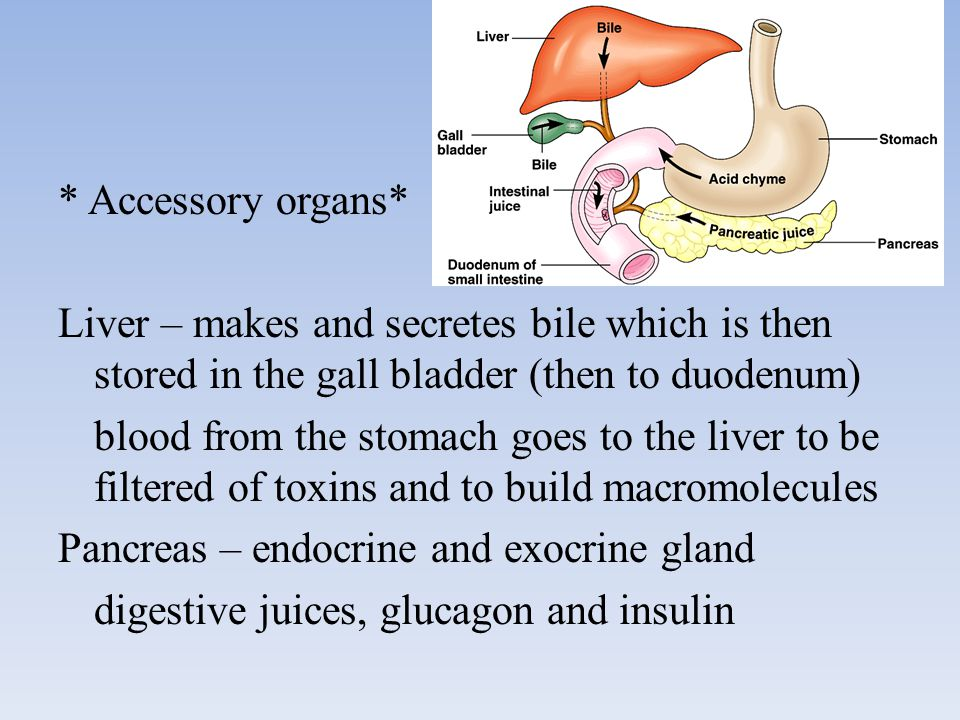 * Accessory organs* Liver – makes and secretes bile which is then stored in the gall bladder (then to duodenum) blood from the stomach goes to the liver to be filtered of toxins and to build macromolecules Pancreas – endocrine and exocrine gland digestive juices, glucagon and insulin