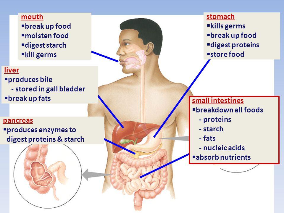 mouth break up food. moisten food. digest starch. kill germs. stomach. kills germs. break up food.