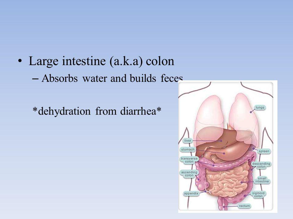 Large intestine (a.k.a) colon