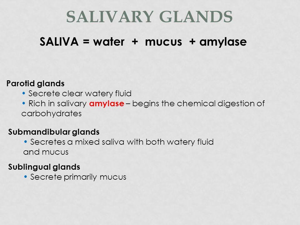 SALIVA = water + mucus + amylase