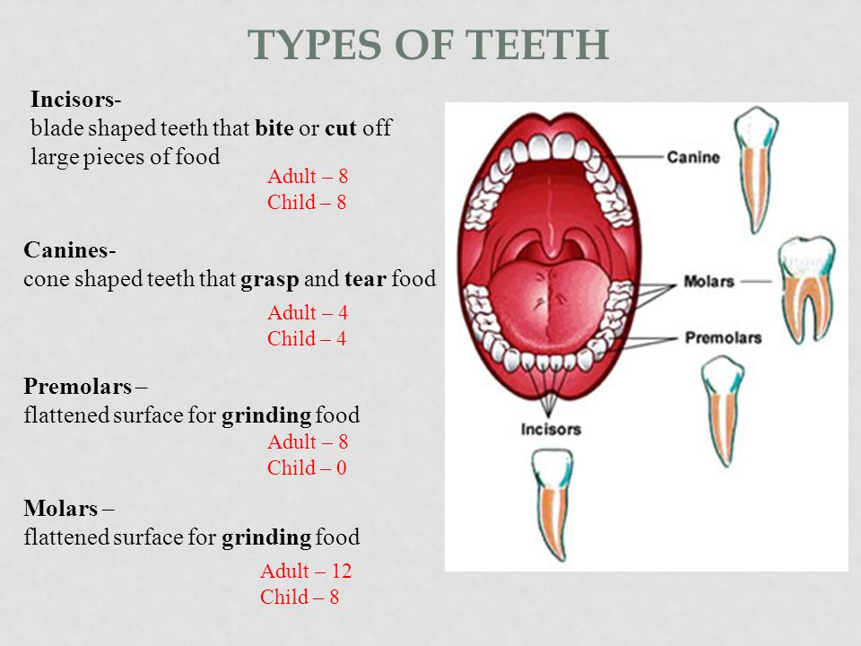 Types of teeth Incisors-
