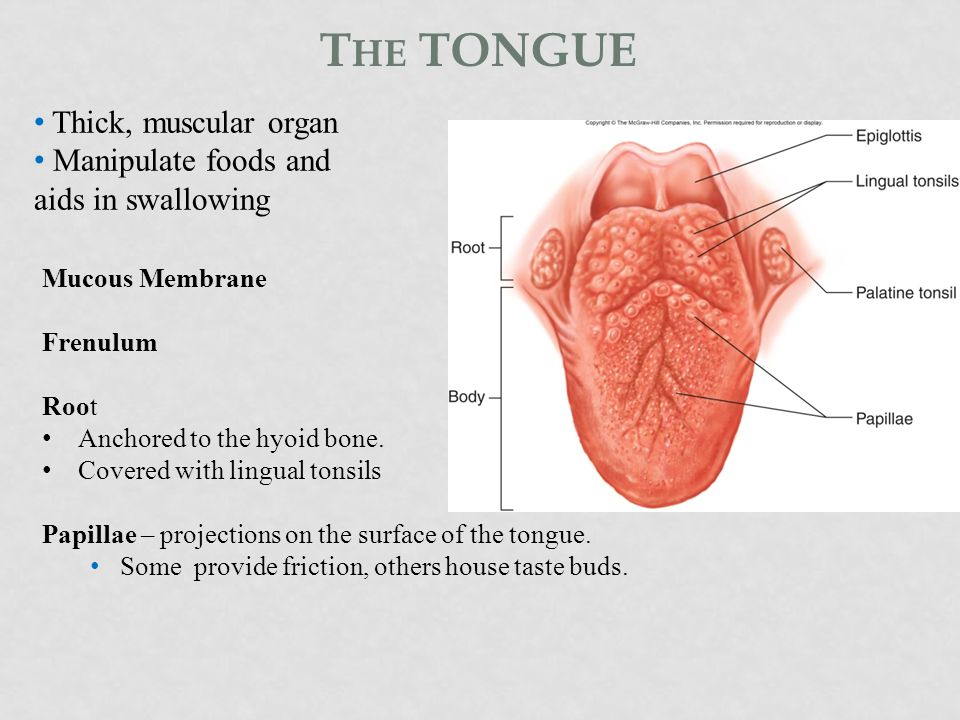 The tongue Thick, muscular organ