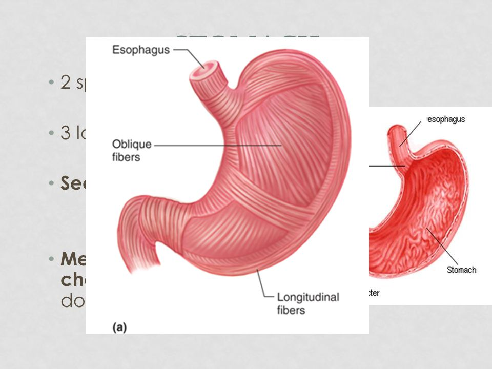 Stomach 2 sphincters (valves) 3 layers of muscle