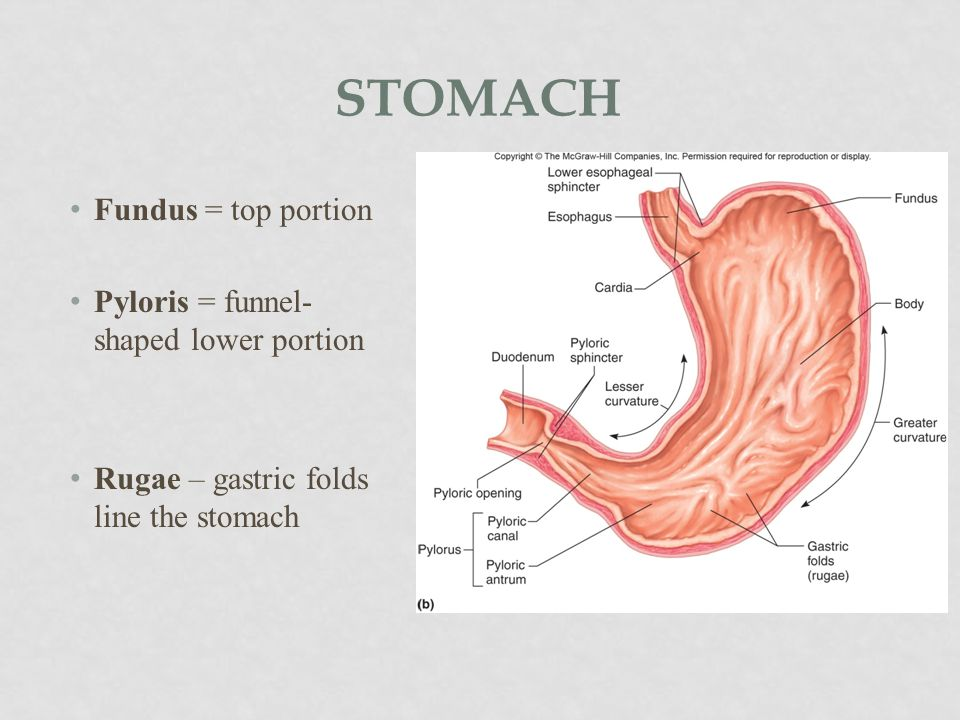 stomach Fundus = top portion Pyloris = funnel-shaped lower portion