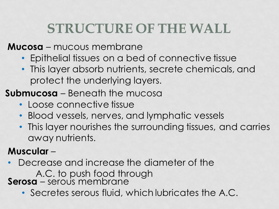 Structure of the wall Mucosa – mucous membrane