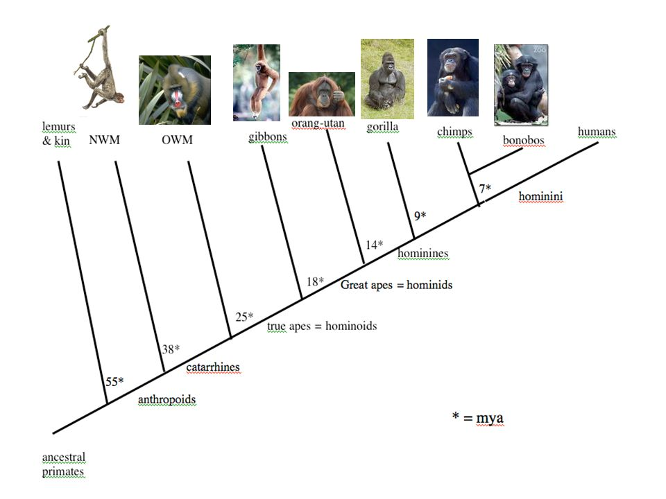 Anthropoids are the primates that are most human-like -- doesn't include prosimians like lemurs
