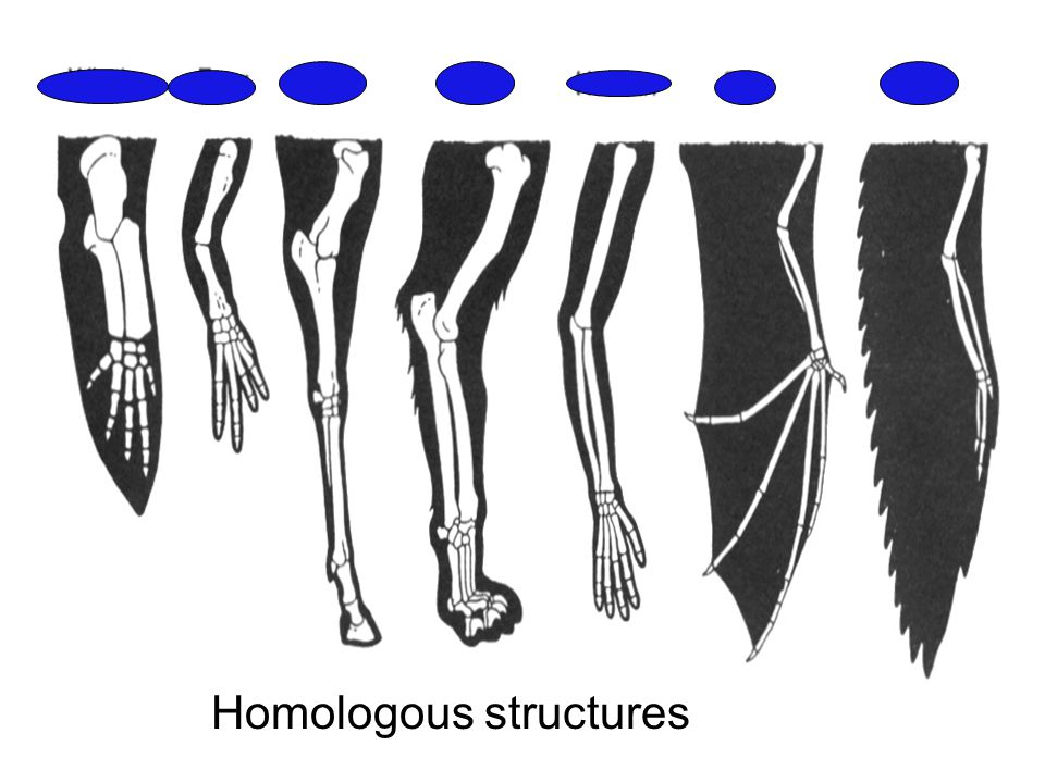 HOMOLOGOUS STRUCTURE Similar features that originate in a shared ancestor (derive from same embryonic structure)