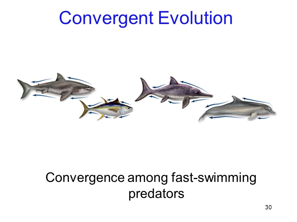 Convergence among fast-swimming predators