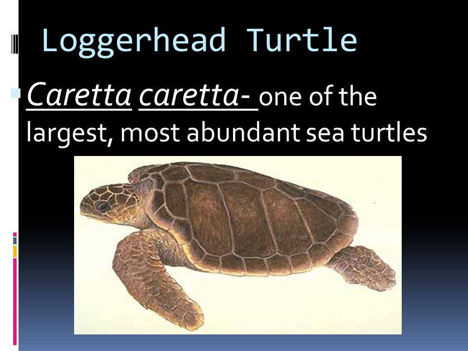Loggerhead Turtle Caretta caretta- one of the largest, most abundant sea turtles