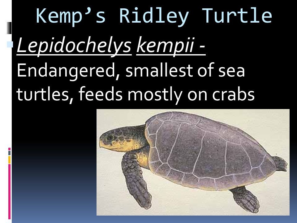 Kemp's Ridley Turtle Lepidochelys kempii - Endangered, smallest of sea turtles, feeds mostly on crabs.