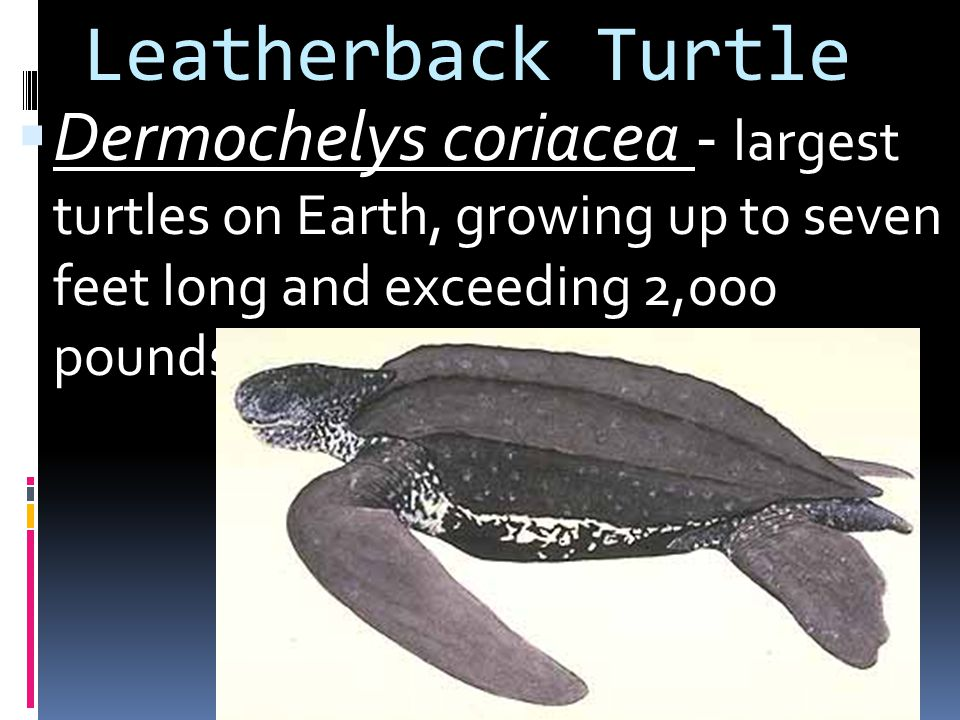 Leatherback Turtle Dermochelys coriacea - largest turtles on Earth, growing up to seven feet long and exceeding 2,000 pounds.