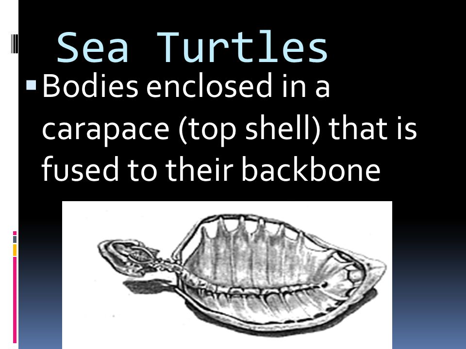 Sea Turtles Bodies enclosed in a carapace (top shell) that is fused to their backbone