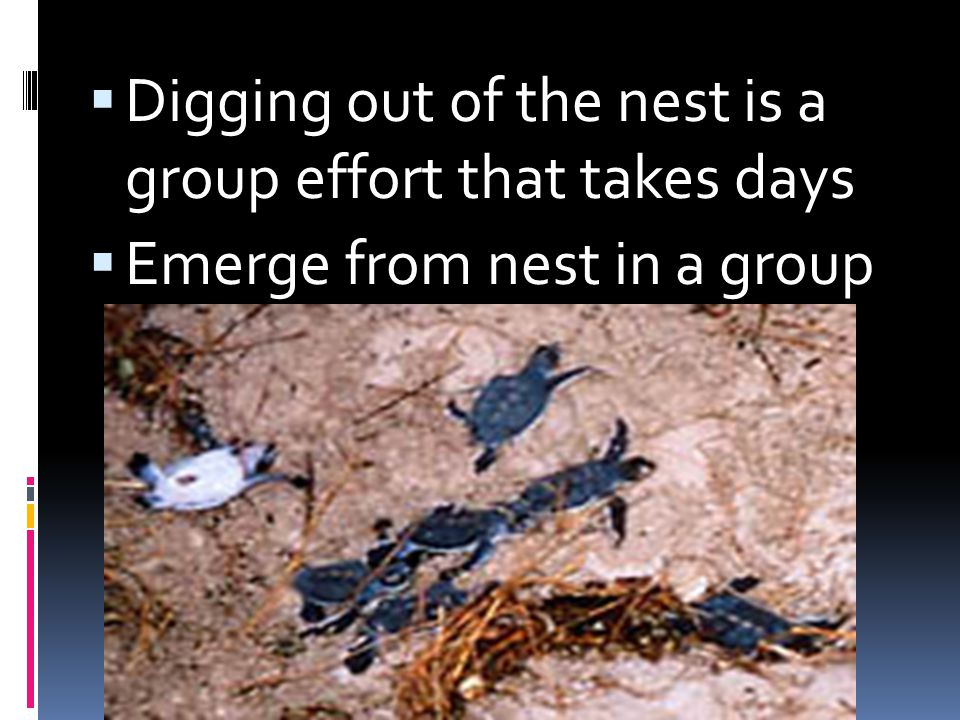 Digging out of the nest is a group effort that takes days