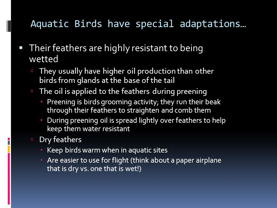 Aquatic Birds have special adaptations…