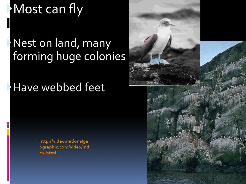 Most can fly Nest on land, many forming huge colonies Have webbed feet