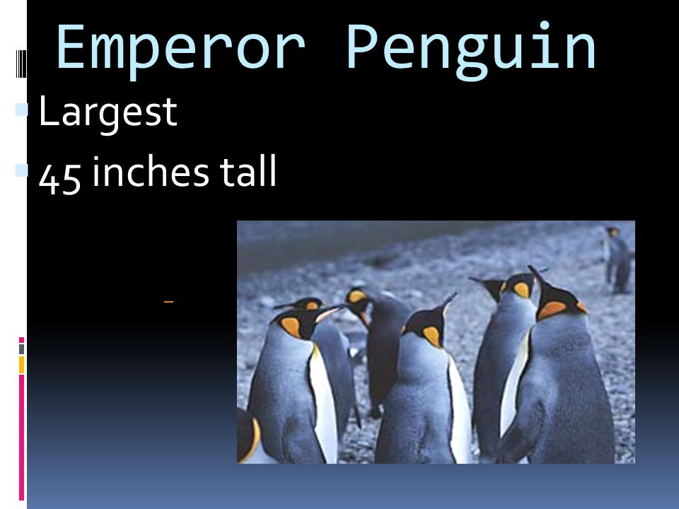 Emperor Penguin Largest 45 inches tall