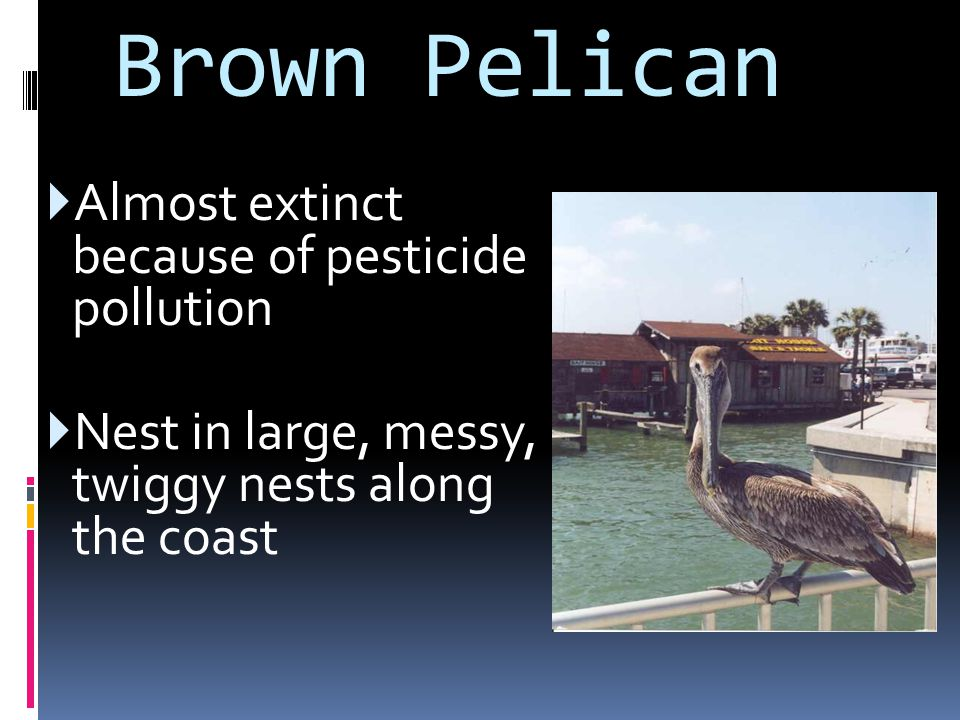 Brown Pelican Almost extinct because of pesticide pollution
