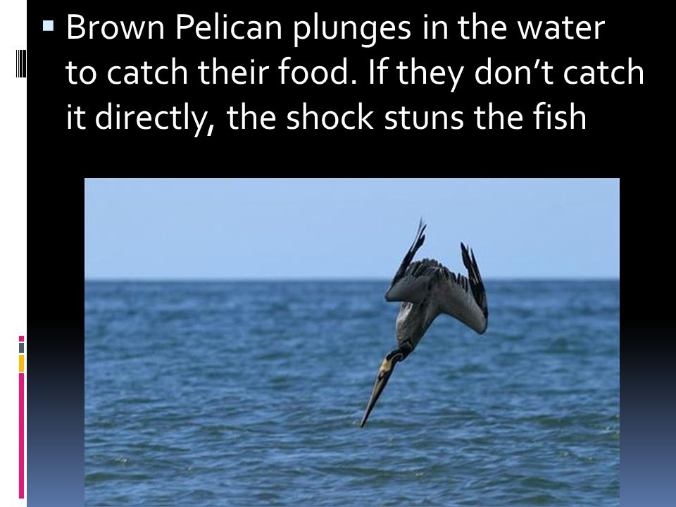 Brown Pelican plunges in the water to catch their food