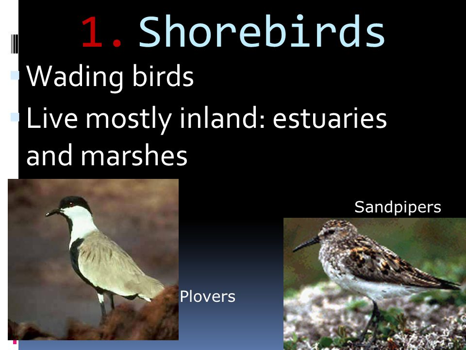 Shorebirds Wading birds Live mostly inland: estuaries and marshes