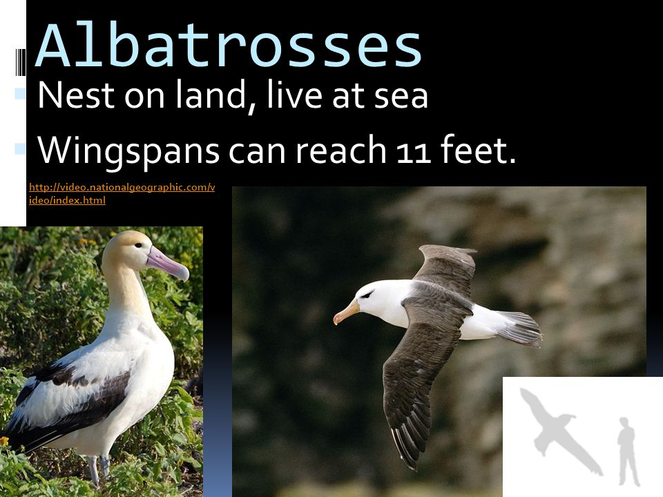 Albatrosses Nest on land, live at sea Wingspans can reach 11 feet.