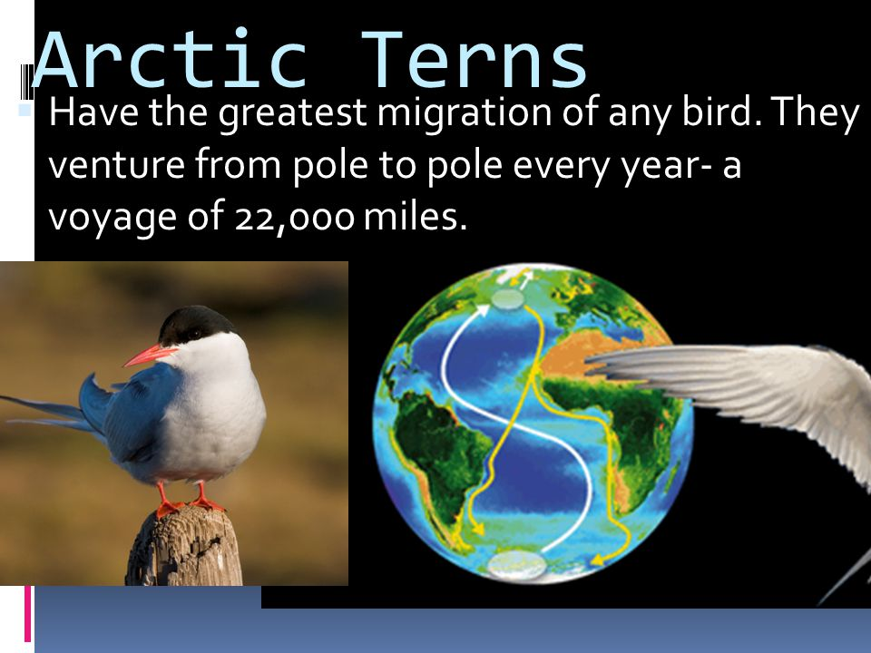 Arctic Terns Have the greatest migration of any bird.