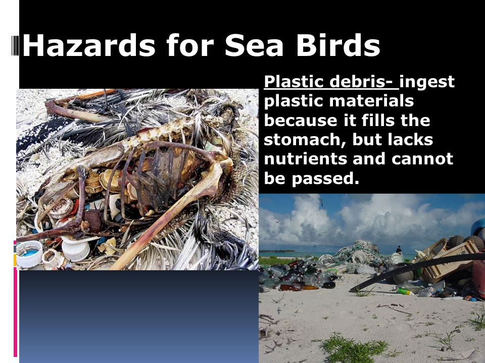 Hazards for Sea Birds Plastic debris- ingest plastic materials because it fills the stomach, but lacks nutrients and cannot be passed.
