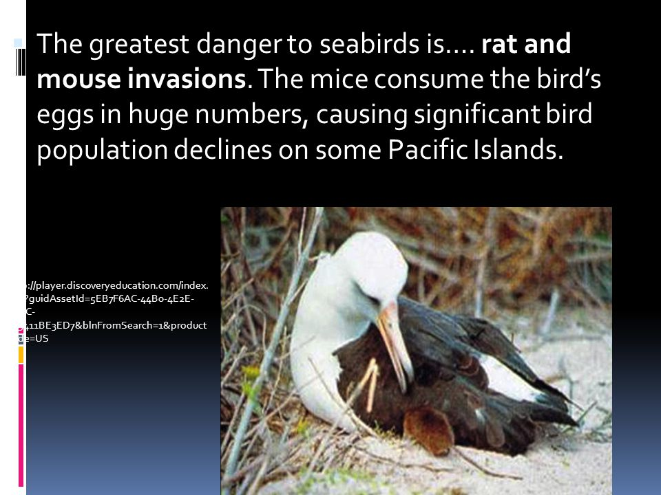 The greatest danger to seabirds is…. rat and mouse invasions