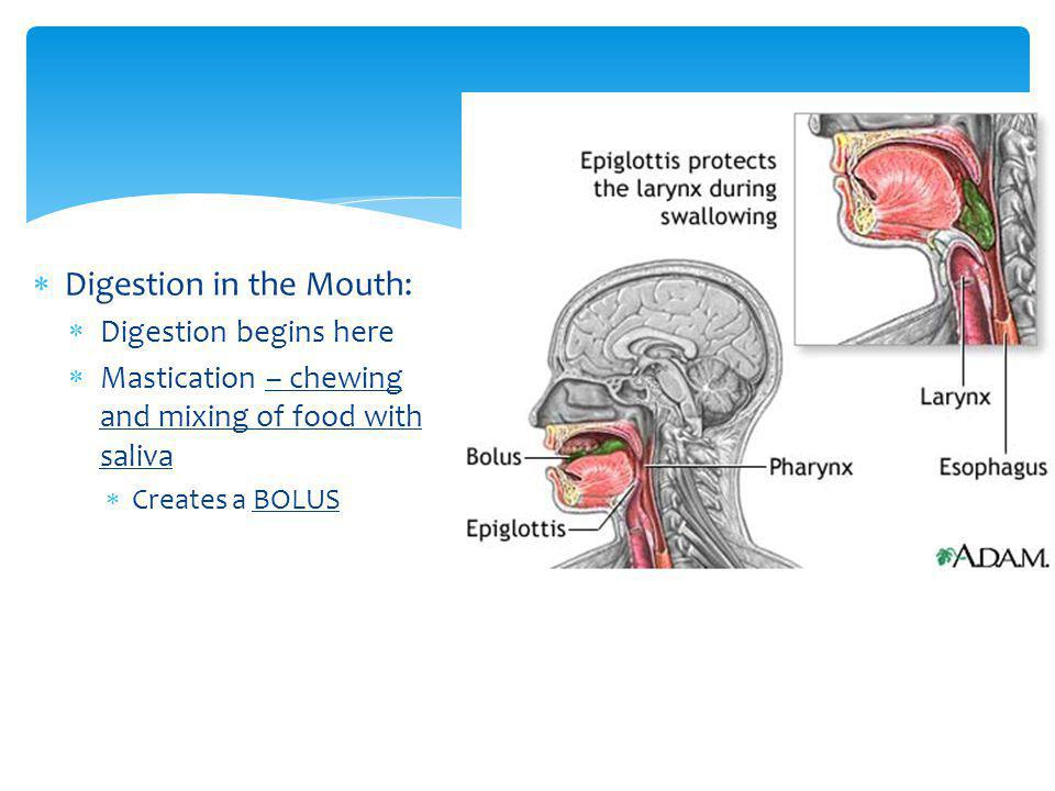 Digestion in the Mouth: