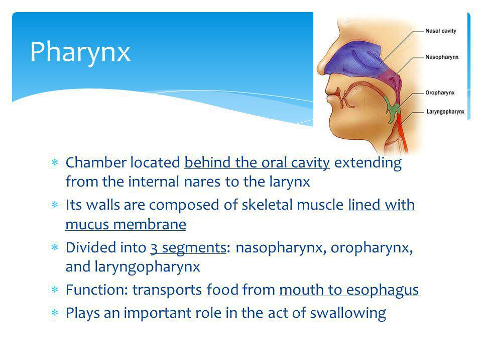 Pharynx Chamber located behind the oral cavity extending from the internal nares to the larynx.