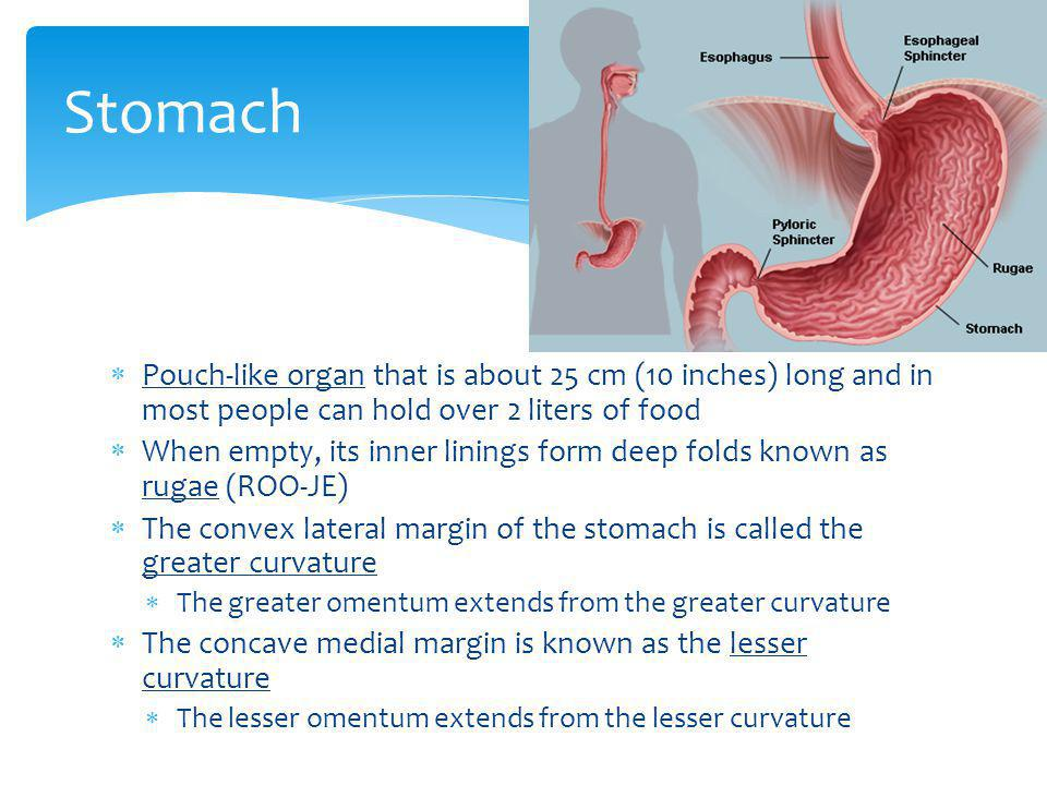 Stomach Pouch-like organ that is about 25 cm (10 inches) long and in most people can hold over 2 liters of food.