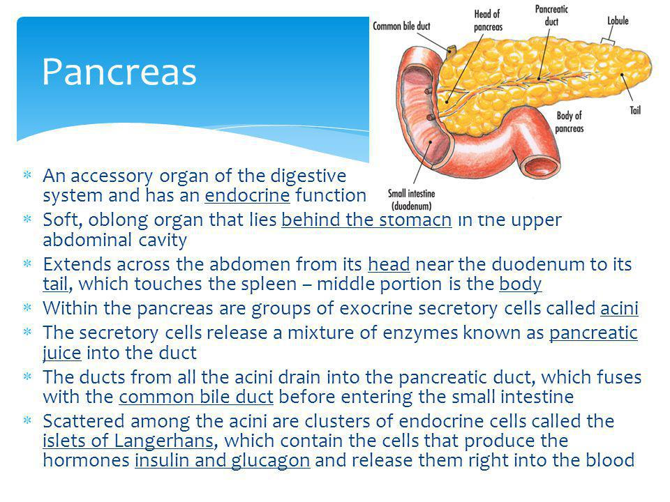 Pancreas An accessory organ of the digestive system and has an endocrine function.
