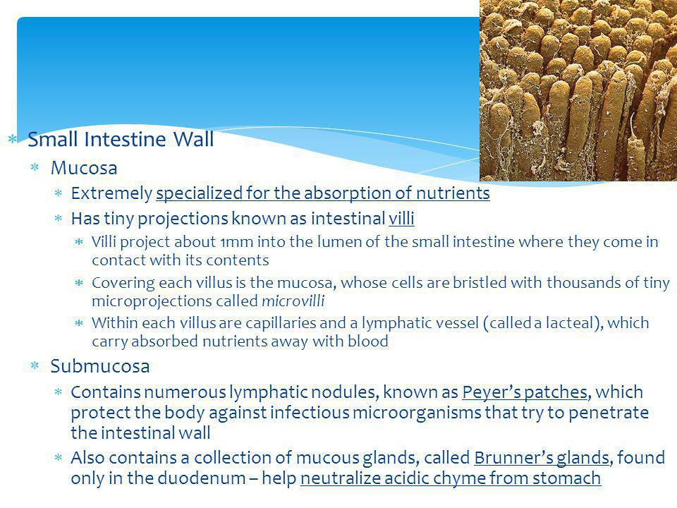 Small Intestine Wall Mucosa Submucosa
